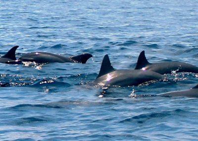groupe-de-dauphins